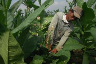 Perawatan tanaman tembakau
