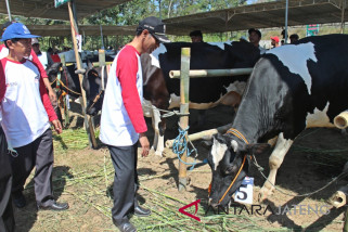 Naik Rp1-Rp1,5 juta, harga sapi kurban dinilai masih wajar