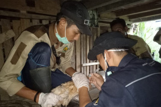 Mahasiswa STPP Magelang layani peternak di perbatasan RI-Malaysia