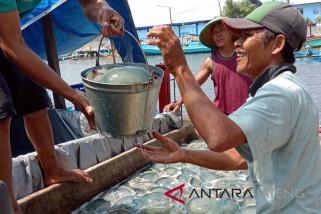 Pascagelombang tinggi, nelayan Cilacap panen ubur-ubur