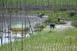 Tanam padi di lahan danau Rawa Pening