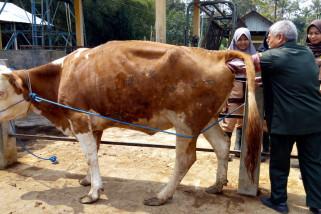 Dua sapi milik STPP jalani inseminasi buatan