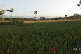 Ratusan hektare lahan pertanian Pekalongan kekeringan