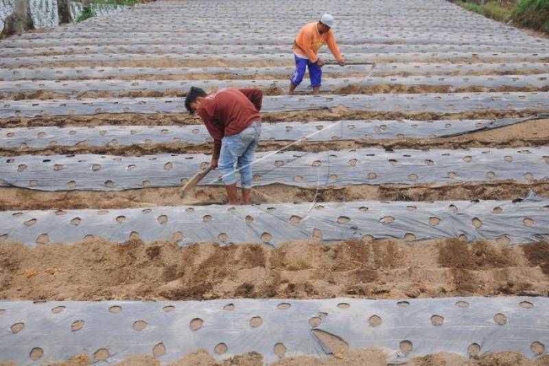 Pertanian sistem tumpang sari