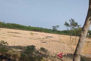 10 hektare lahan pertanian Pekalongan kekeringan