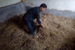 Polbangtan Magelang buat amofer padi pengganti hijauan makanan ternak