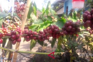Petani kopi  Temanggung diimbau lakukan petik merah