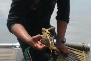 Nelayan Jepara budidayakan rajungan laut