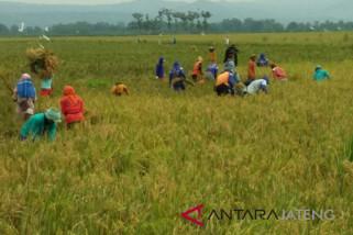 Boyolali surplus beras 25 persen padahal produksinya turun