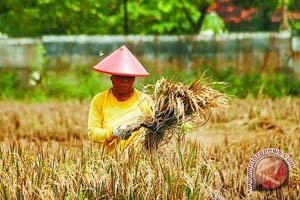 Produksi padi di Kulon Progo turun