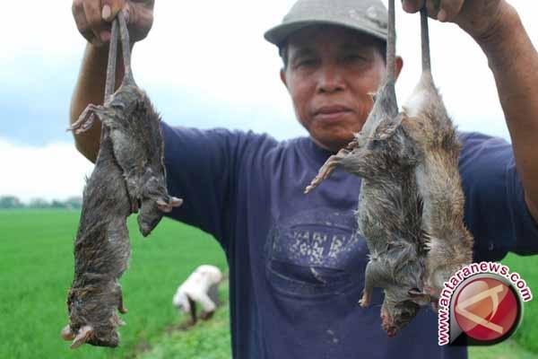 Serangan tikus di lereng Merapi mengganas
