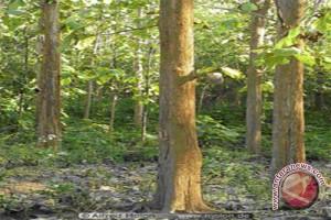 Yogyakarta tanam pohon langka sebagai identitas wilayah
