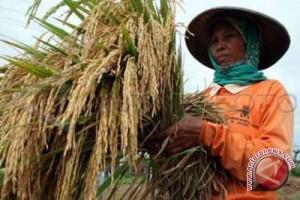 Petani Gunung Kidul panen padi Hybrida Pioner