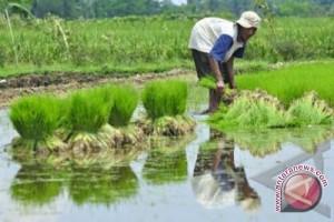 Sebagian besar petani Bantul belum tanam padi