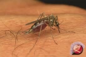 Pelepasan nyamuk berwolbachia diperluas di 12 kelurahan