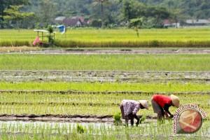 Luas tanam padi Bantul bertambah 1.300 hektare