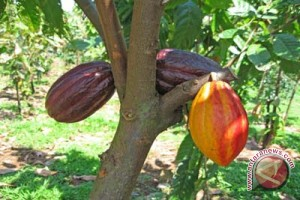 Pemkab Kulon Progo kembangkan Kampung Kakao Kalibawang