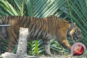 BKSDA Bengkulu selamatkan harimau terkena jerat