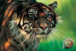 BKSDA Jambi buru harimau yang terkam warga