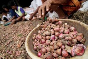 Produksi benih bawang merah Bantul diprediksi turun
