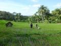 Petani DIY diimbau sesuaikan varietas padi