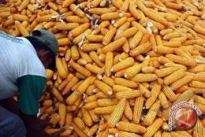 Varietas benih jagung hibrida tahan bulai diluncurkan