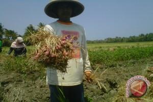 Petani bawang Bantul perlu optimalkan pupuk organik