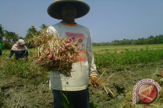 Areal tanam bawang merah Kulon Progo meningkat