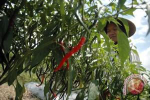 Luas ideal tanaman cabai Bantul 300 hektare