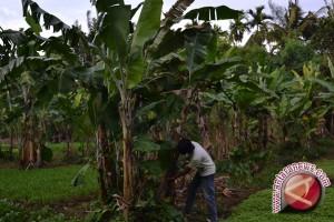 Kebun plasma nutfah pisang siapkan penataan koleksi