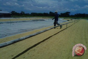 Bantul produksi benih unggul 235,54  ton