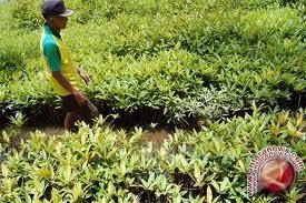 DKP Bantul bentuk kelompok kerja pelestarian mangrove
