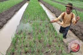 Pemkab: lahan bawang terendam belum tentu puso
