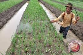 Luas lahan tanaman bawang di Bantul menurun