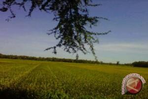 Padi di Gunung Kidul diserang bakteri