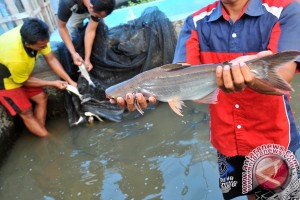 Pembudidayaan ikan patin belum dominan di Bantul