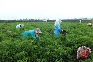 Petani cabai Kulon Progo raih untung besar