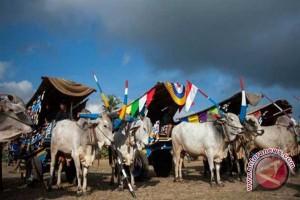 Pemkab Kulon Progo lakukan penyelamatan sapi putih