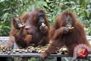 Pupuk Kaltim lepasliarkan lima ekor orangutan