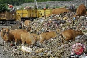 Peredaran sapi pemakan sampah sulit dipantau
