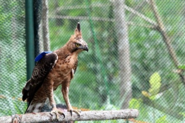 TNGM pantau enam ekor elang di Merapi