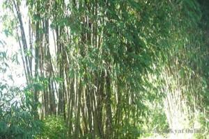 Sleman targetkan tambah sepuluh hektare lahan bambu