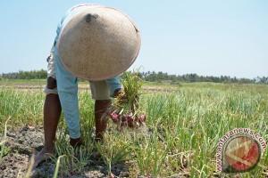 Petani keluhkan bawang merah tidak tumbuh maksimal