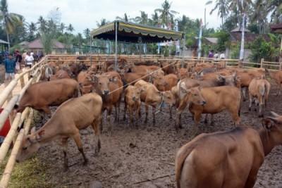 Asuransi ternak sapi NTT sepi peminat
