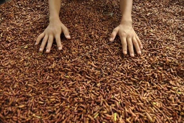 Petani gembira  harga cengkih di Ambon naik