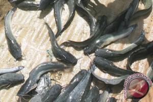 Kulon Progo surplus ikan lele 8.000 ton/tahun