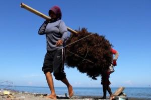 KKP fokus pada pengembangan rumput laut