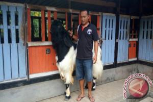 Pasar Pendem jadi pusat penjualan kambing Kaligesing