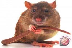 """Serangan Hama Tikus Mengganas! Petani Diminta Bentuk """"Gropyokan"""""""