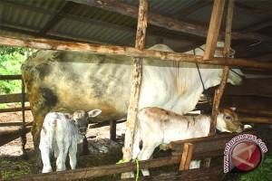 Pemkab Kotim Siapkan 400 Ekor Sapi Jelang Idul Fitri